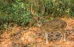 Ein wachsames Rotwild in Dikala Lizenzfreie Stockfotos