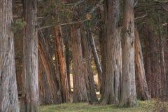 Ein Wald der Wacholderbüsche Stockfoto