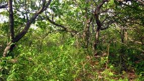 Ein Wald des Acajoubaums Stockbilder