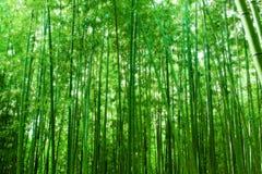 Ein Wald des Bambusses Stockfotografie