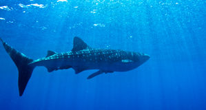Ein Walhaifisch in der Sonne. stockfotos