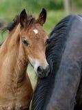 Ein Waliser-Pony-Fohlen Lizenzfreies Stockfoto