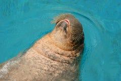Ein Walroß, schwimmend in einem Pool Lizenzfreie Stockfotografie