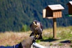 Ein Wanderfalke, der auf einer Lenker ` s Hand am Waldhuhn-Berg in Kanada sitzt Ein Vogelhaus ist im Hintergrund Stockfotografie