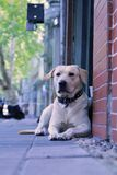 Ein Wartehund Stockfotografie