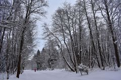 Ein was für Vergnügen, durch den Winterwald auf Skis zu laufen Schnee aus den Grund, die Bäume, die Ruhe manchmal stockfotos