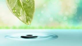 Ein Wassertropfen, der vom grünen Blatt fällt Stockfotografie