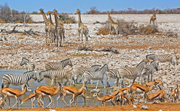 Ein waterhole in Nationalpark Etosha, der mit wild lebenden Tieren ausgießt Lizenzfreie Stockfotos
