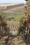 Ein Weg in den Weinbergen Stockfoto