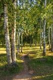 Ein Weg in einer Birkenwaldung auf den Banken des Oredezh-Flusses in Lizenzfreie Stockbilder