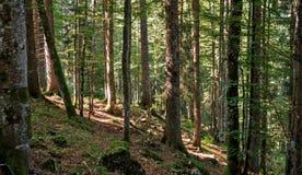 Ein Weg führt aufwärts zwischen den Bäumen eines Waldes, der in den Schweizer Jura-Bergen gelegen ist Lizenzfreie Stockfotografie