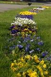 Ein Weg von Pansies im Gras Lizenzfreie Stockbilder