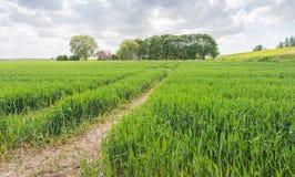 Ein Weg von Traktorbahnen auf dem Gebiet des reifenden Weizens Lizenzfreie Stockfotos