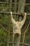 Ein weiß-übergebener Gibbon Stockfotos