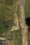 Ein weiß-übergebener Gibbon Stockfotografie