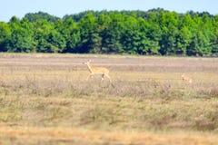 Ein weiß-angebundenes, Odocoileus virginianus, Damhirschkuh und ihr Kitz gehen über ein Feld im kahlen Griff-Schutzgebiet im kahl Lizenzfreies Stockbild