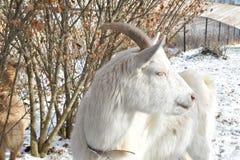 Ein weißer Geißbock, der eine Profilansicht beim Genießen eines Wintertages auf einem Bauernhof in Wisconsin gibt stockfotos