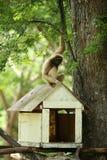 Ein weißer Gibbon, der auf der Dachspitze des hölzernen Baumhauses sitzt Stockfotos