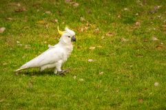 Ein weißer Kakadu Schwefel-mit Haube, der in das Gras beim Roya geht lizenzfreies stockbild