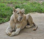 Ein weißer Löwe am Zoo lizenzfreie stockfotografie