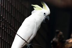 Ein weißer Papagei mit dunklem Hintergrund Stockfoto