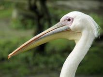Ein weißer Pelikan lizenzfreie stockbilder