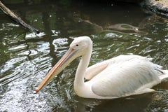 Ein weißer Pelikan schwimmt auf dem Teich die Natur genießend Lizenzfreie Stockfotos