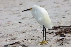 Weißer Reiher auf einem Strand Stockfotografie
