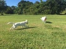 Ein weißer Schäfer Dog Chasing ein Welpe mit einem Frisbee Stockfoto