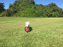 Ein weißer Schäfer Puppy Carrying ein Frisbee Stockfoto