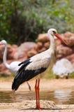 Ein weißer Storch Stockbild