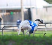 Ein weißer Windhund, der in eine Florida-Bahn läuft Lizenzfreie Stockbilder