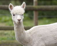Ein weißes Alpaka in einer Einschließung im Freien Lizenzfreie Stockfotos