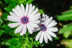 Ein weißes Gänseblümchen stockbild