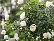 Ein weißes Hundrosenknospenblühen Grün lässt Hintergrund Lizenzfreie Stockfotos