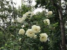 Ein weißes Hundrosenknospenblühen Grün lässt Hintergrund Stockbild