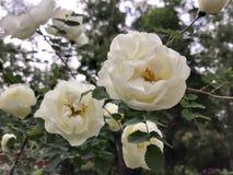 Ein weißes Hundrosenknospenblühen Grün lässt Hintergrund Lizenzfreies Stockbild