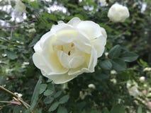 Ein weißes Hundrosenknospenblühen Grün lässt Hintergrund Stockfotografie