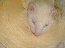 Ein weißes inländisches Frettchenschlafen Stockfotos