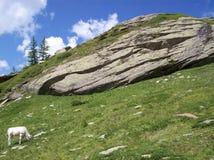 Ein weißes Kalb in den Bergen nähern sich Prali Lizenzfreie Stockbilder