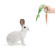 Ein weißes Kaninchen und eine Hand, die eine Karotte anhalten Stockbilder