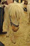 Ein weißes kleines Pferd Stockfotografie