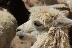 Ein weißes Lama in einer Herde stockfotos