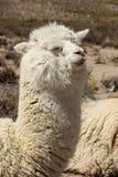 Ein weißes Lama in einer Herde lizenzfreie stockbilder