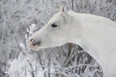 Ein weißes Pferd auf einem Hintergrund der Bäume im wint Stockfoto