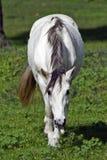 Ein weißes Pferd, das im Klee weiden lässt Stockbild