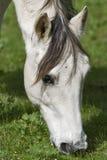 Ein weißes Pferd, das im Klee weiden lässt Stockbilder