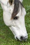 Ein weißes Pferd, das im Klee weiden lässt Lizenzfreies Stockbild
