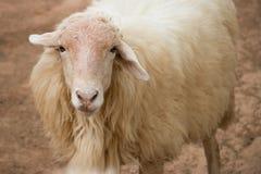 Ein weißes Schaf, das Zuschauer betrachtet stockfoto