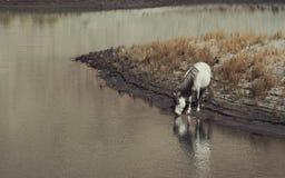 Ein weißes wildes Pferd, das den Fluss allein mit Reflexion trinkt und bereitsteht Lizenzfreie Stockfotografie